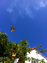 Giant Swallowtail Butterfly passing through