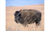 Bison Reintroduced after 140 Years
