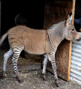 Ippo the Zonkey